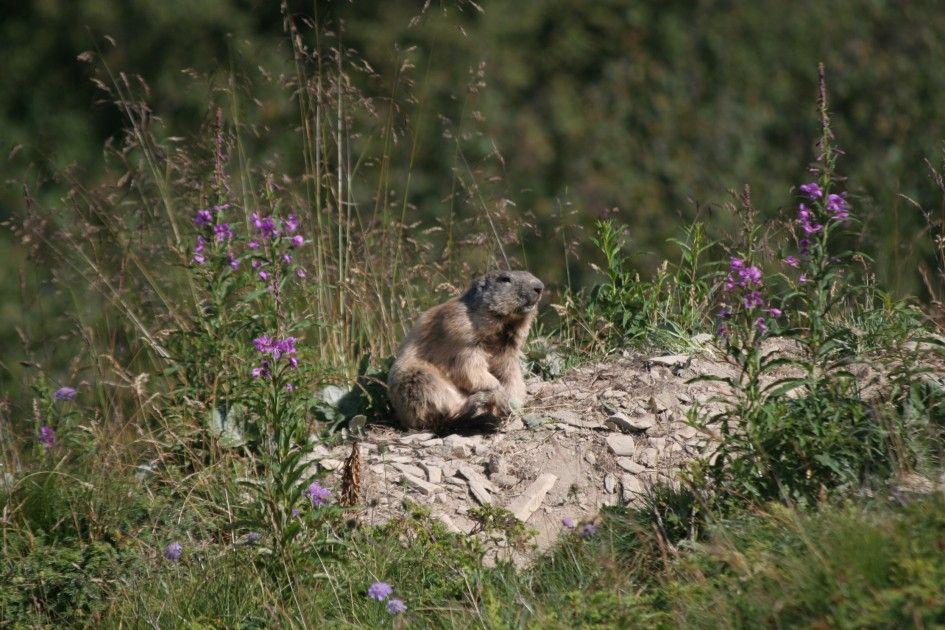 Marmotte_en_Savoie