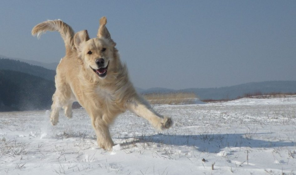retriever-in-snow
