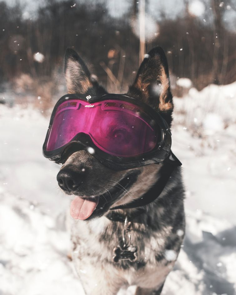 Dogs in the Snow, Take your dog to the Alps, dog friendly chalets